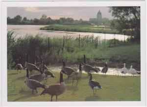 CANADA GEESE, WASCANA BIRD SANCTUARY REGINA SK