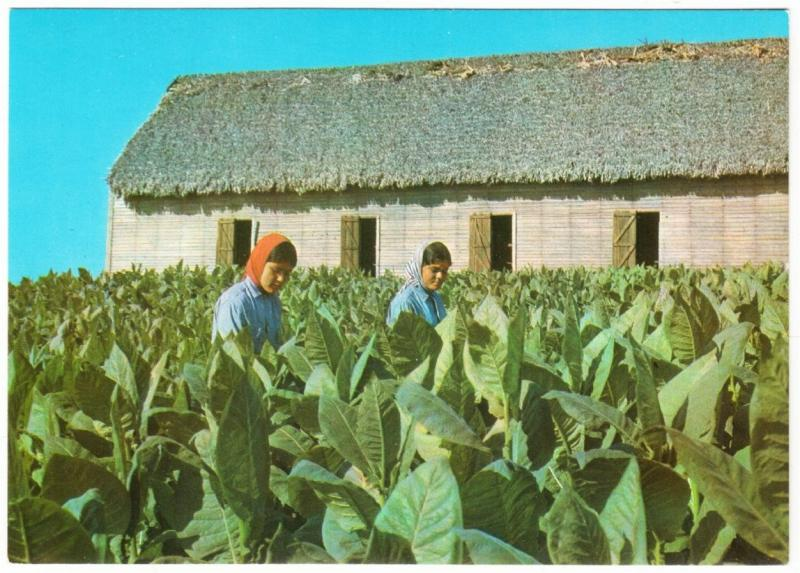 Cuba Farm Workers in a Tobacco Field with Shed Postcard