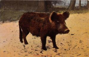 FLORIDA RAZOR BACK WILD PIG~SOUVENIR POSTCARD 1914