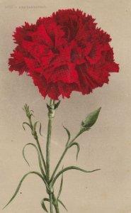 Red Carnation Flower , 00-10s