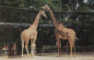 Giraffes , CINCINNATI , Ohio , 1950-60s ; Zoo