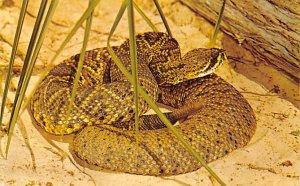 Eastern Diamondback Rattlesnake Snakes / Reptiles North America Unused