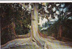 Moreton Bay Fig Fort Myers Florida