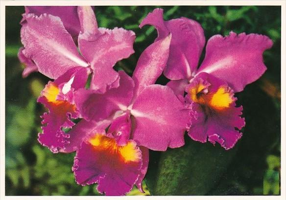 Guam Orchids Beautiful Island Flowers
