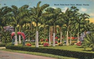 Postcard Royal Palm Lined Drive Miami Florida