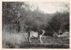 Vintage Postcard, No.28 Lioness Kruger National Park South Africa 26Y