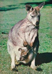 Australian Wallaroo & Joey Baby Postcard