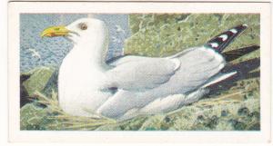 Trade Card Brooke Bond Tea Wild Birds in Britain 44 Herring Gull