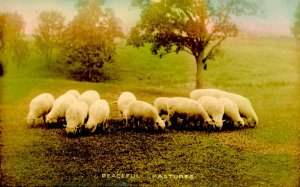 Sheep in Pasture    *RPPC
