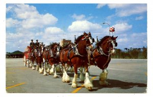 FL - Tampa. Anheuser-Busch Brewing Co., Famous Clydesdales