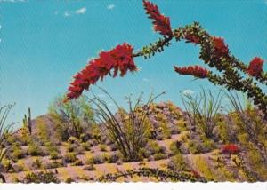 Flaming Blossoms Of The Ocotillo Cactus Arizona