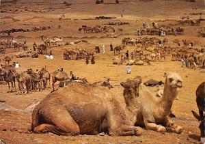 Morocco le maroc Pittoresque Goulimine Camel Market