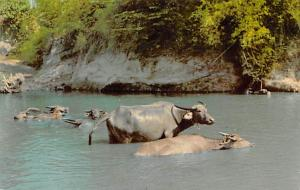 Philippines Old Vintage Antique Post Card Philippine Water Buffalo Unused