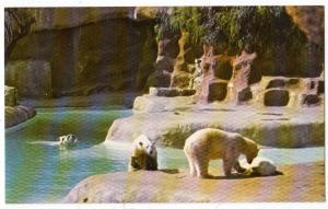 Polar Bears, Gladys Porter Zoo, Brownsville TX