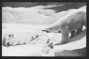 Natural History Museum Polar Bears Chicago Illinois Unused c1950s