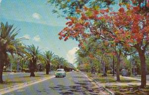Florida Miami Royal Poinciana And Date Palm Tree South Miami Avenue