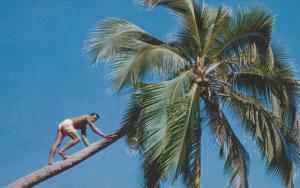 TAHITI: Pearl of the South Sea, Man climbing a Coconut Tree, 40-60s