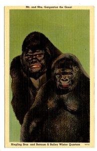 FL - Sarasota. Ringling Bros. & Barnum & Bailey Circus, Famous Gorilla Couple