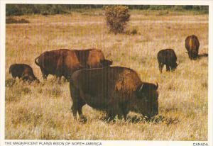 Bufalo Plains Bison of North America