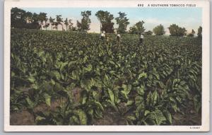 A southern tobacco field -