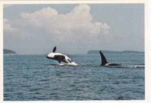 Killer Whale Pod in wild , B.C. , Canada , 50-70s Version-3 with out text