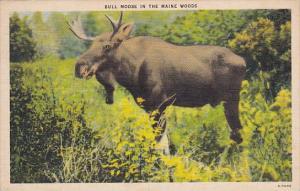Bull Moose In the Woods Boston Massachusetts 1944