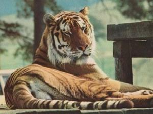 Tigers Tiger At Game Park Longleat Zoo Wildlife Park Wiltshire Postcard