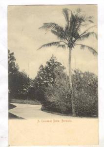 A Cocoanut Palm , Bermuda , PU-1908