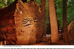 California Calaveras Big Trees State Park Giant Felled Tree 100 Years Old