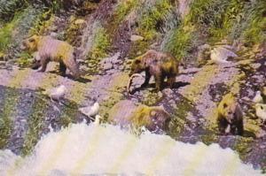 Alaska Brown Bears Fishing For Salmon