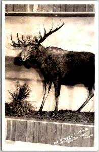 1950s Bloomington, California RPPC Photo Postcard North American Moose - Museum