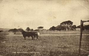 trinidad, B.W.I., The Savannah, Cows (1920s) Postcard