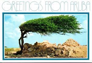 Aruba Greetings Showing The Divi-Divi Tree