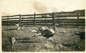 Agriculture Dog C-1910 Turkey Pen Farm RPPC Photo Postcard 3762