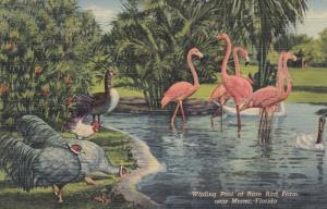 Florida Flamingos , 1930-40s #4 ; Miami