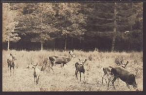 Herd of Deer Postcard