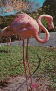 Florida Flamingos , 1950-60s #11 (Miami)