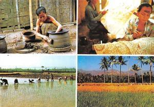 Indonesia Pouchery at Kasongan Village, Yogyakarta, Planting Rice, Harvesting