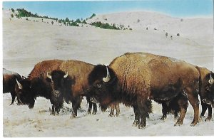 Buffalo Roaming Plains in Winter