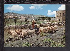 Shepherd in Field,Bethlehem,Israel Postcard BIN