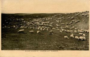 Canada - Alberta. Medicine Hat, Sheep Roundup