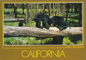 California Native Black Bears