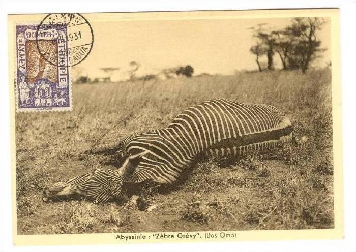Zebra Hunt, Abyssinie:  Zebre Grevy . (Bas Omo), Ethopie, PU-1931