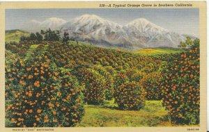 America Postcard - A Typical Orange Grove in Southern California - Ref TZ7625