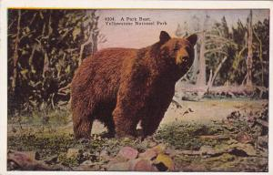 YELLOWSTONE NATIONAL PARK, Wyoming, 10s-20s; A Park Bear