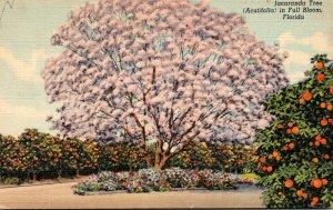 Florida Jacaranda Tree In Full Bloom 1944 Curteich