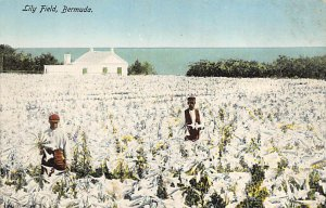 Bermuda Post card Old Vintage Antique Postcard Lily Field Writing on back