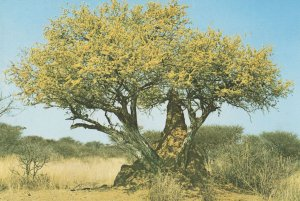 Termite Insect Hill by Bush at Namibia Africa Postcard