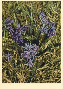 Postcard flowers liliaceae scilla bifolia