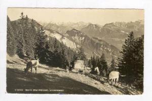 RP: Cattle Graze in Alps / Beim Rigi Kanzeli, Urneralpen,nr Weggis, Switzerla...